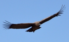 Condor Gliding High Above Andes Mountains, Chile