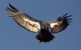 Male Condor Landing