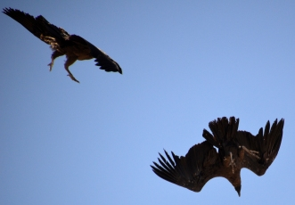 Two Condors Fighting