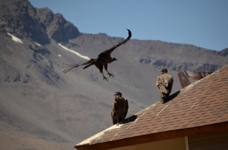 Condors Like Ski Resort Roofs