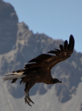 Condor On Final Approach