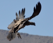 This Condor Is Not Pretty